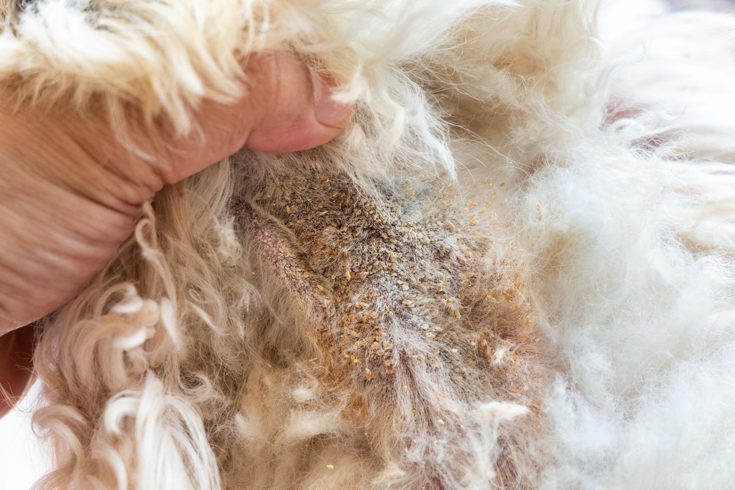 dermatitis kutya lábak természetes gyógymódok